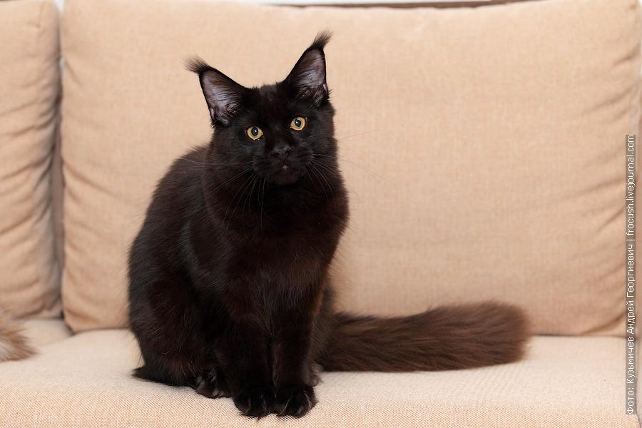 питомник кот Мейн-кун