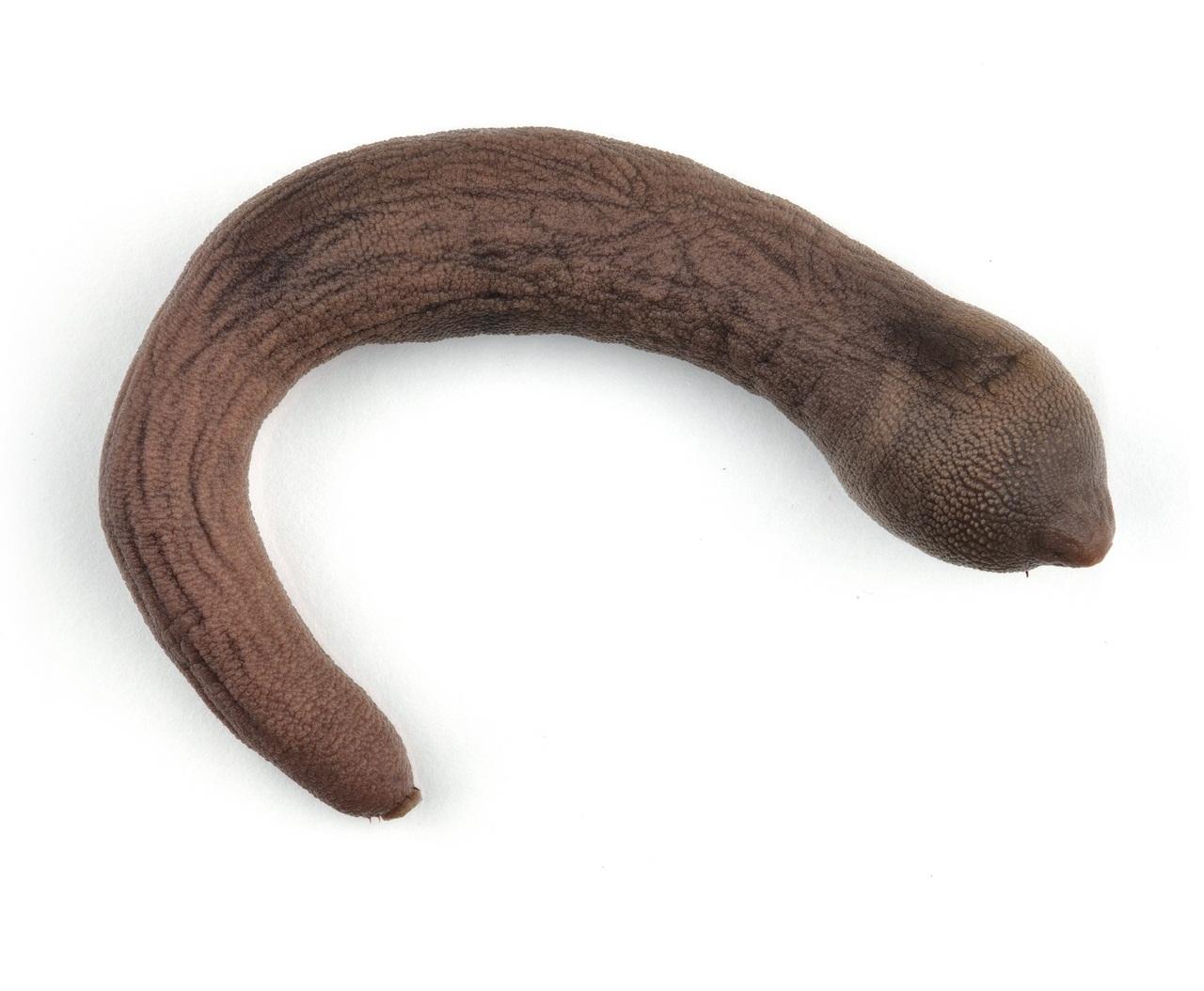 riba-penis