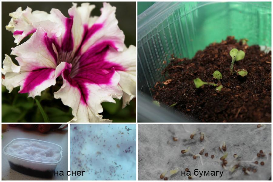 Посадка семян петунии на рассаду - разные способы