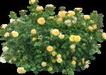 Holliewood_RoseIsARose_RoseBush3.png