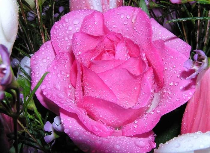 Красива яскрава рожева троянда листівка фото привітання малюнок картинка