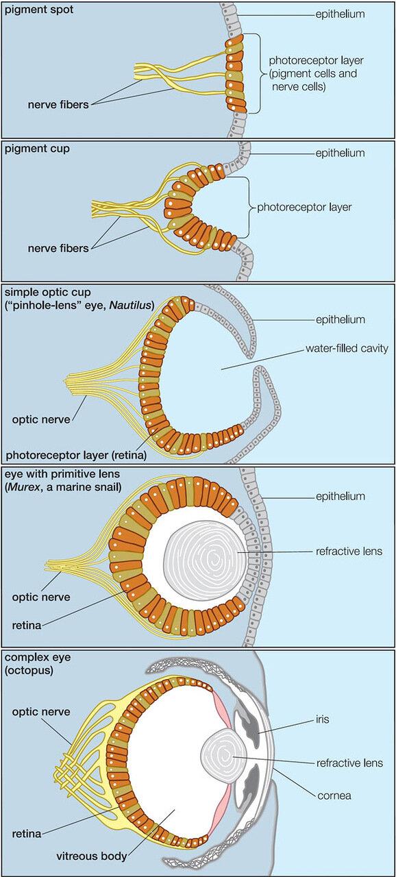 Схема строения глаз