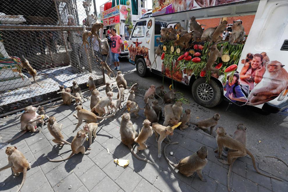 Кстати, называются они макаки-крабоеды. Крабы совсем не являются основной пищей, обезьяны всеядные.
