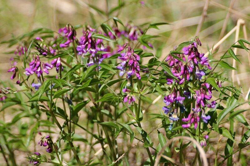 Цветёт Чина весенняя (Lathyrus vernus)