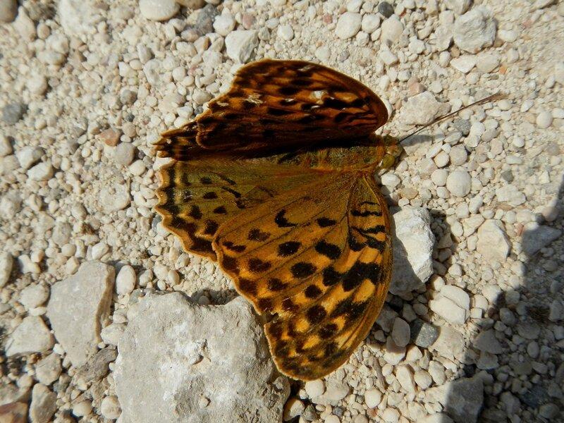 Бабочка, возможно перламутровка (Argynnis)