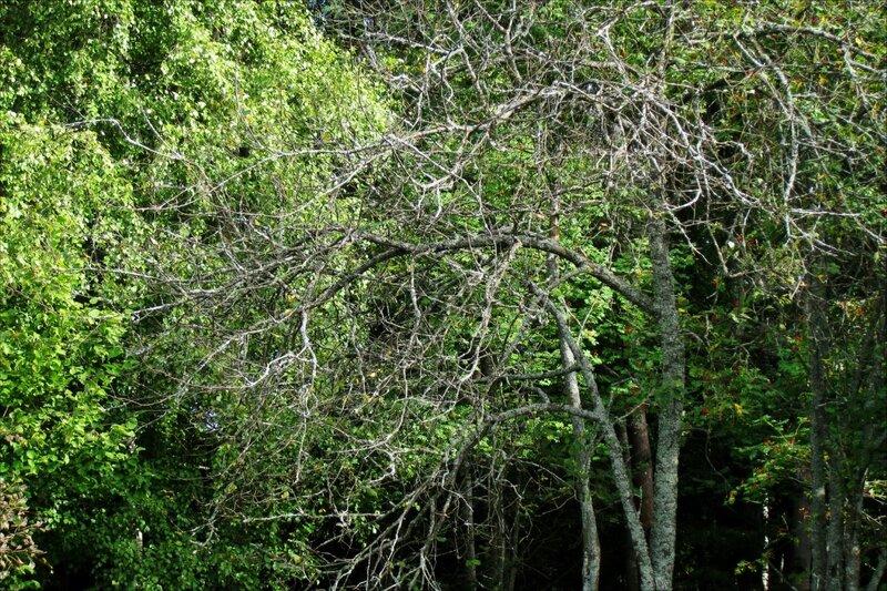 Засохшее дерево на опушке