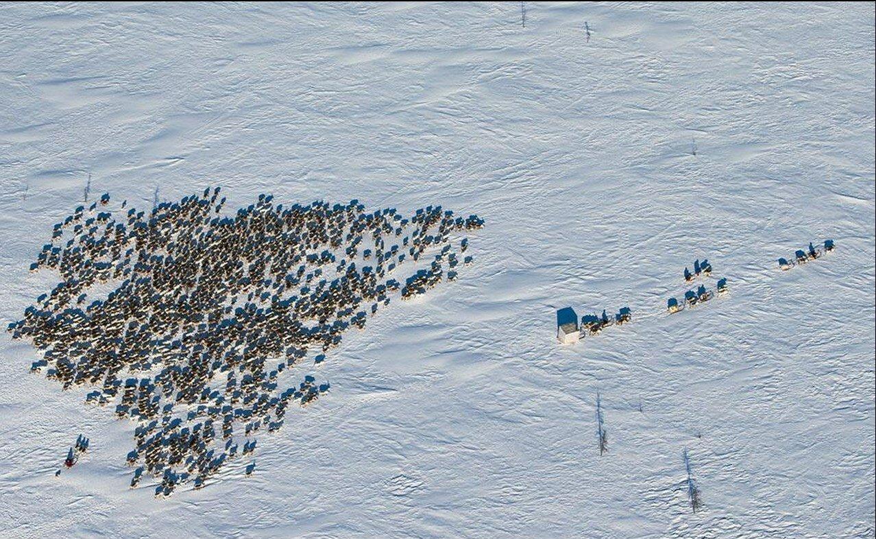 06. Ненецкие пастухи и их олени