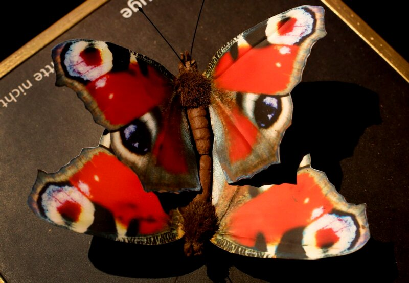 Stuffed copulating peacock butterflies are displayed at exhibition