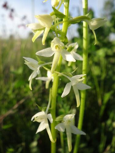 Любка двулистная (Platanthera bifolia) Автор фото: Привалова Марина