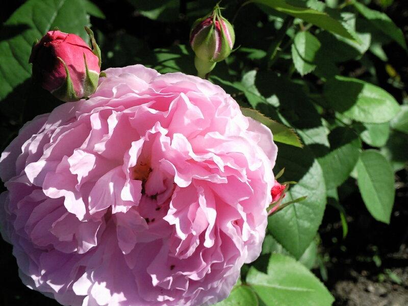 Mary Rose (AUSmary)  Austin Великобритания, 1983