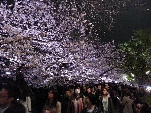 Жаль у меня нет фотографий при свете дня, но даже ночью подсвеченные аллеи сакуры очень впечатляют