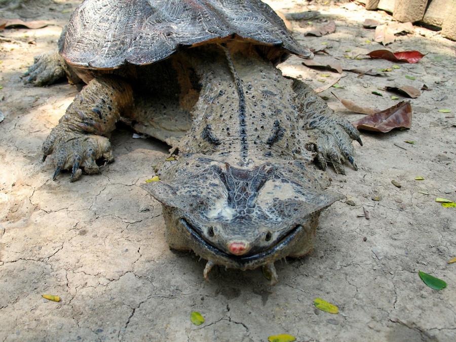 Пресноводная черепаха из семейства змеиношеих. Обладает крайне причудливой и своеобразной внешностью