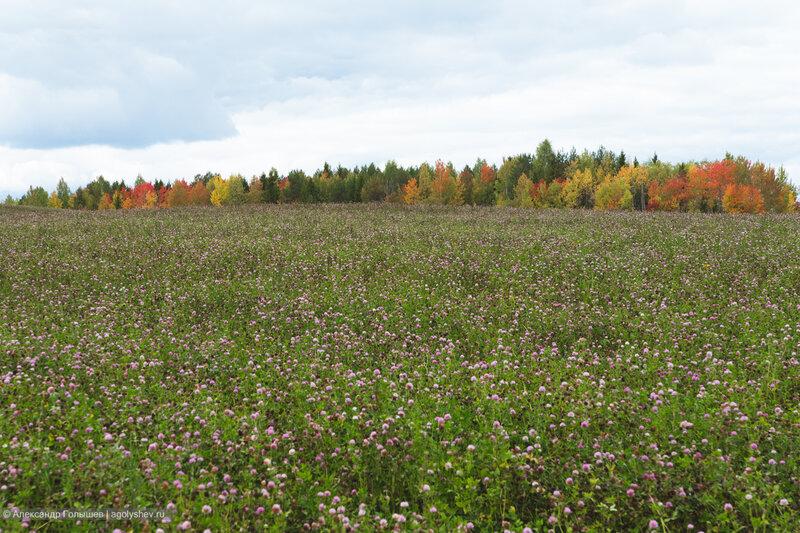 Цветущий осенью клевер
