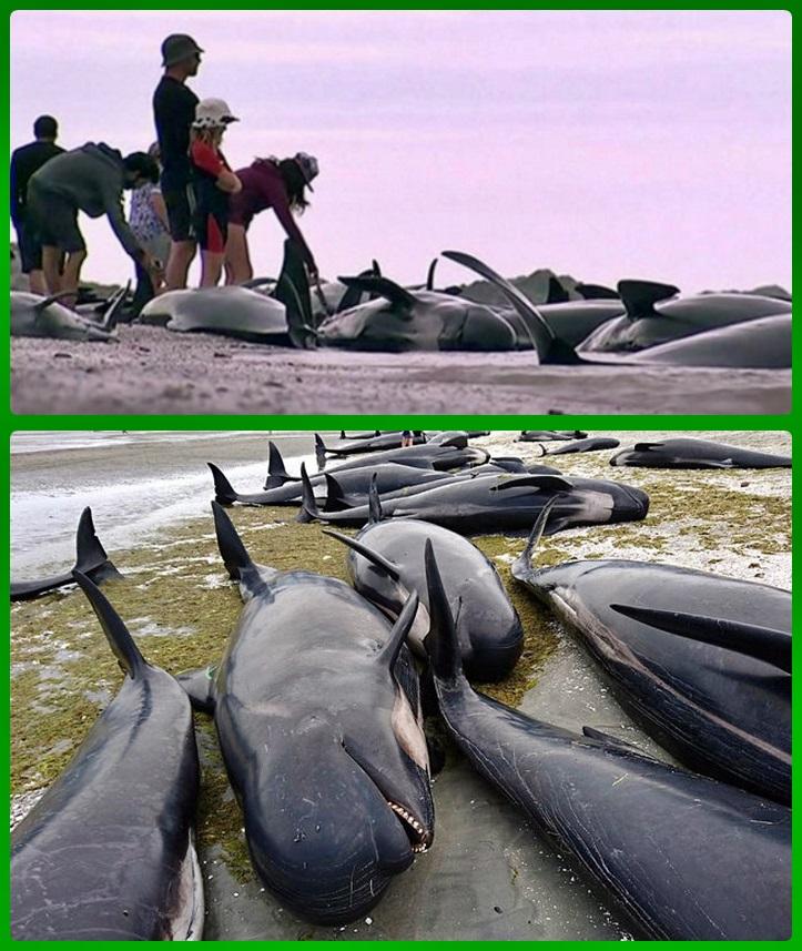В Новой Зеландии сотни черных дельфинов выбросились на берег