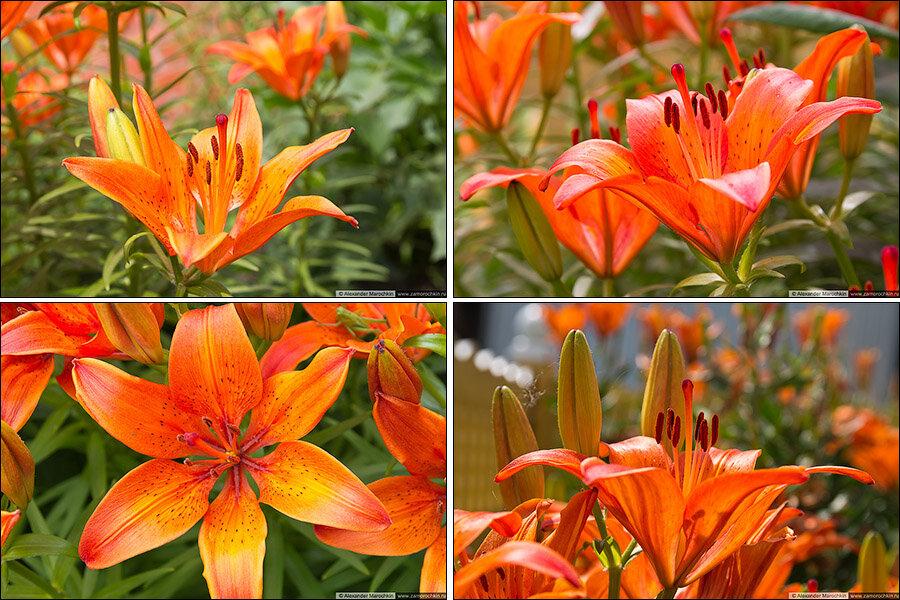 Фотографии оранжевых лилий | The photographs of orange lilies | Lilium