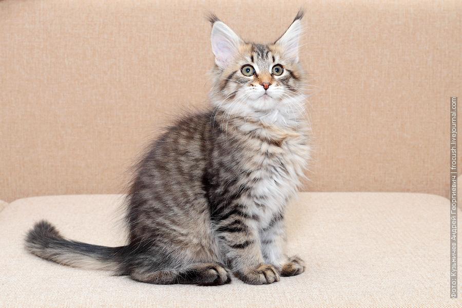 Москва Мейн-кун котенок питомник