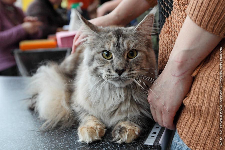 Менй-кун кошка из питомника в Москве