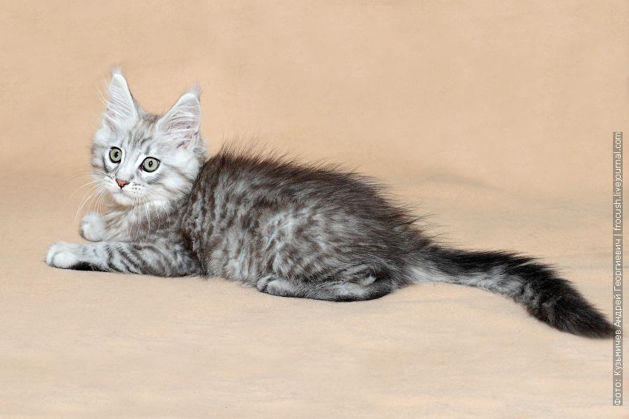 Москва продажа котенок Мейн-кун