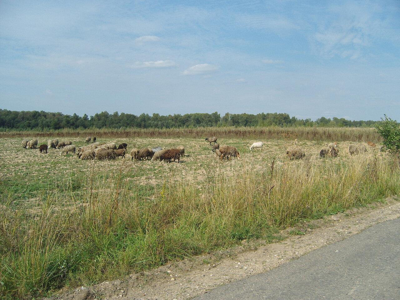 овцы-бараны