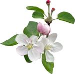 цветы   яблони  2.jpg