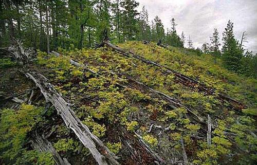 Поваленные деревья при Тугнусском метеорите