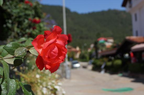 роза турция