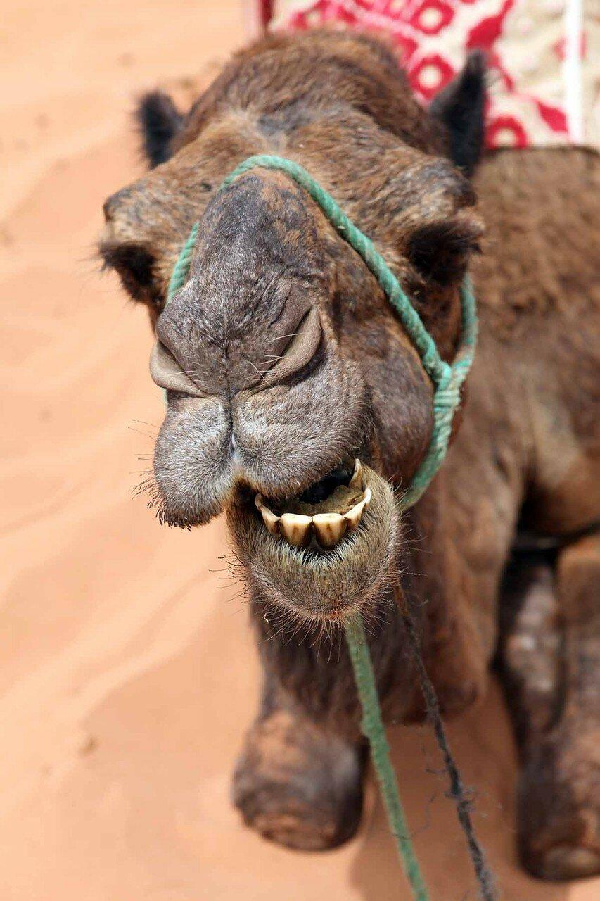 Марокко - Сахара, верблюд