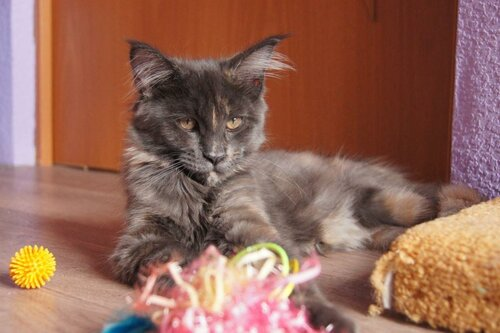 wild look кошки мейн кун Жаклин