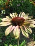 Echinacea  Caribbean Green.JPG