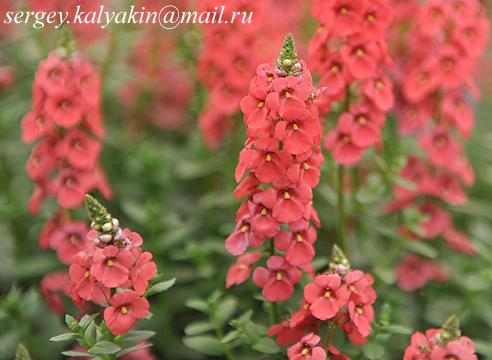 Diascia Sundiascia Rose Pink.JPG