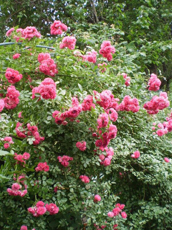 Розарий. Красивые сорта роз