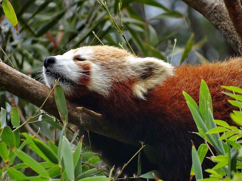 Рыжая панда спит...