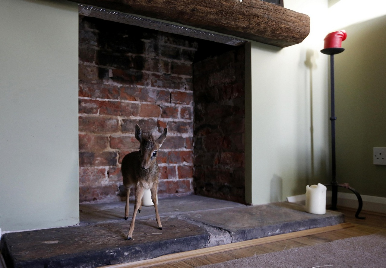 A baby Dik-dik, stands in the fireplace at the home of Tim Rowlands curator of mammals at Chester Zoo