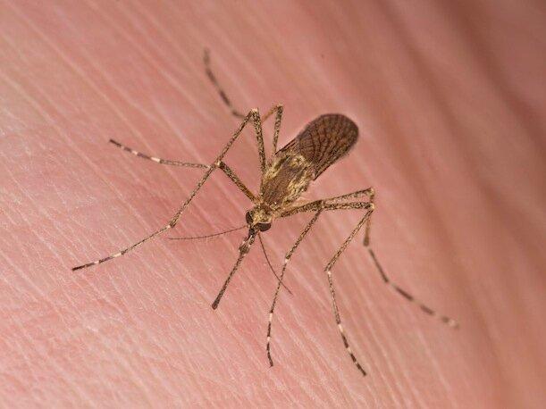 Почему некоторые люди кажутся комарам вкуснее