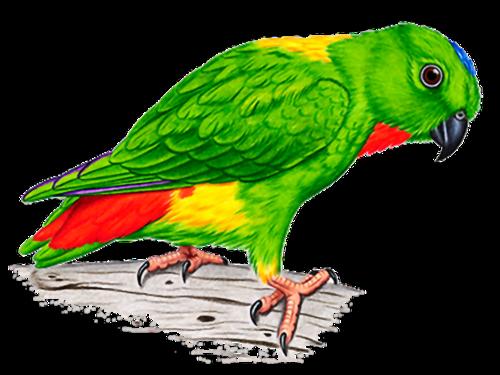попугай png