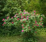 Rosa gallica splendens (Valamonruusu)