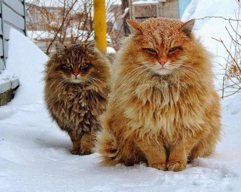 В этом посте обитают самые пушистые кошки на свете
