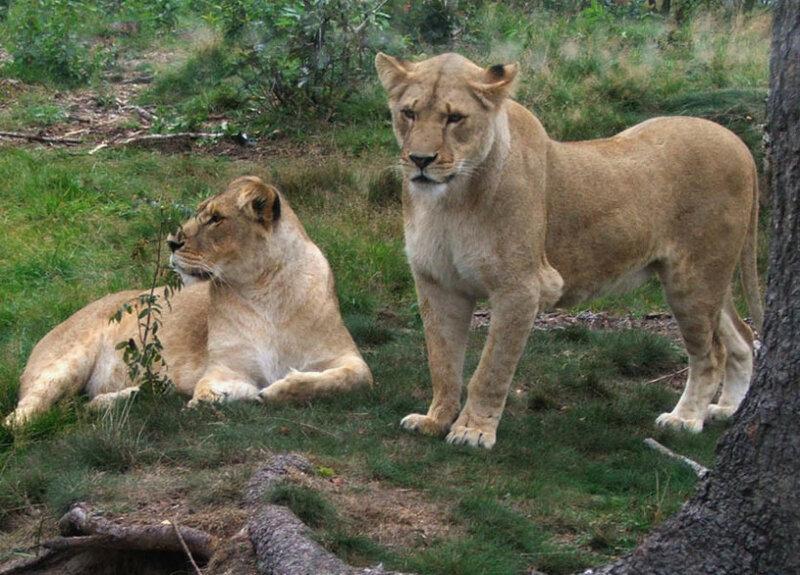 Датский зоопарк приглашает детей посмотреть на вскрытие льва