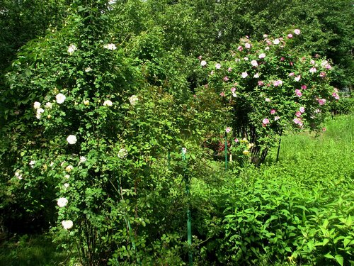 Арка, розы