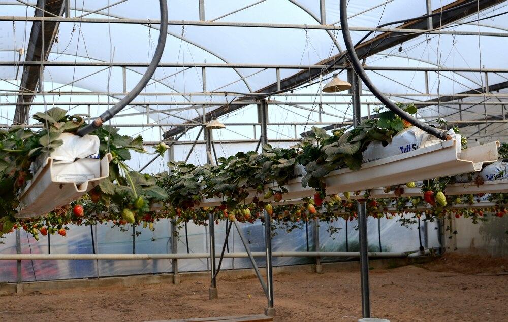 Израильские технологии выращивания клубники 72