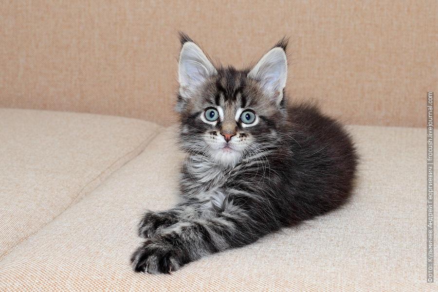 котенок Мейн-кун продажа