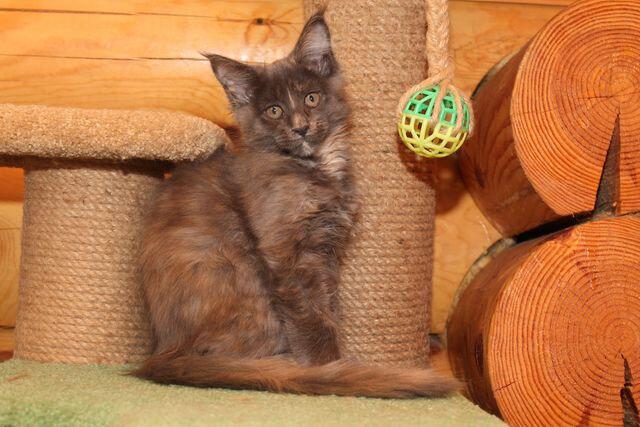 котенок мейн-кун Жаклин из Новосибирска