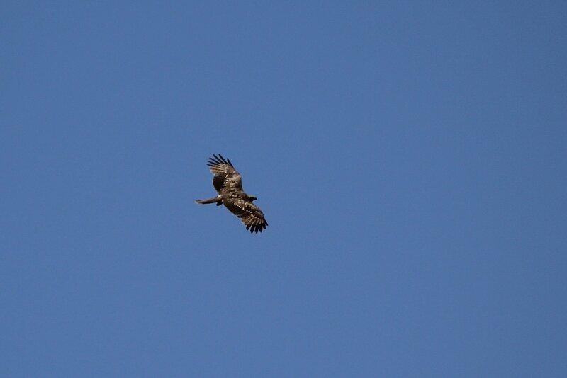 Чёрный коршун (Milvus migrans) парит в небе над свалкой