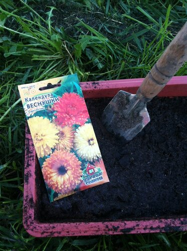 выращиваем календулу