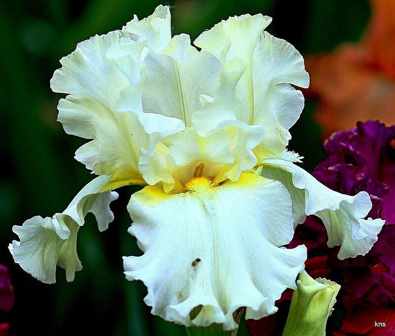 Ирисы! Они приглашены на званый бал цветов, самых прекрасных!