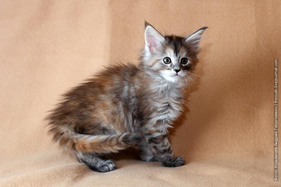 фотография котенка девочки менй кун