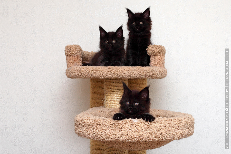 черные котята Мейн-кун