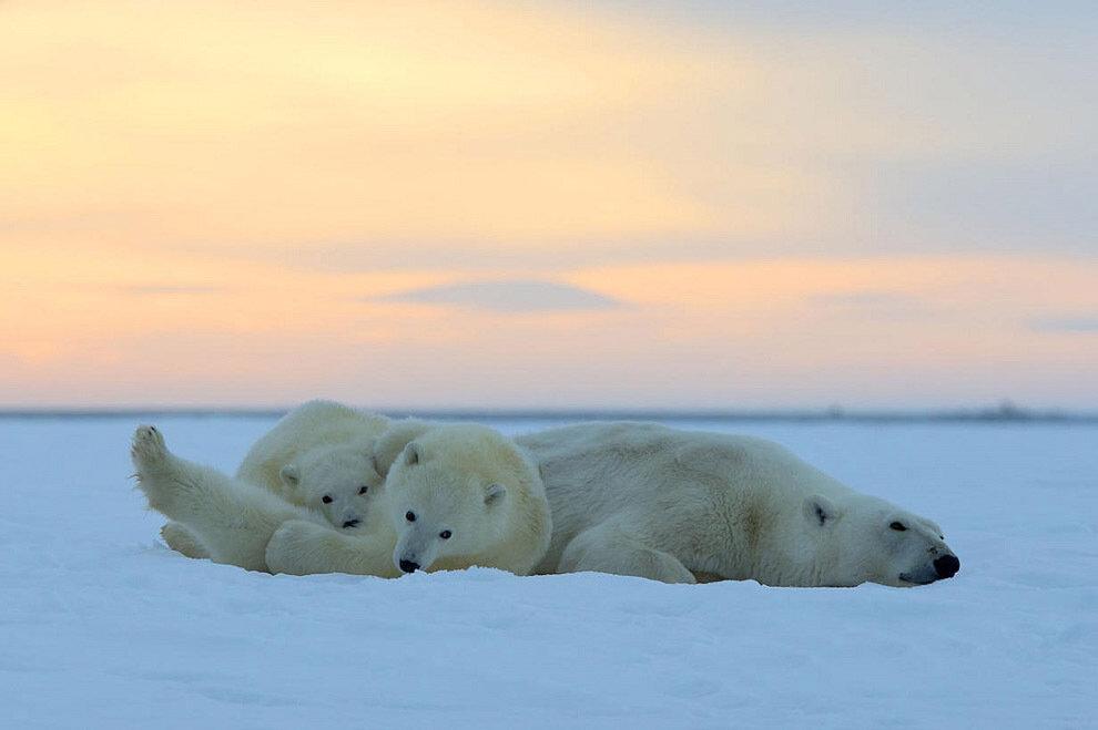 Белые медведи и великолепный закат на Аляске (10 фото)