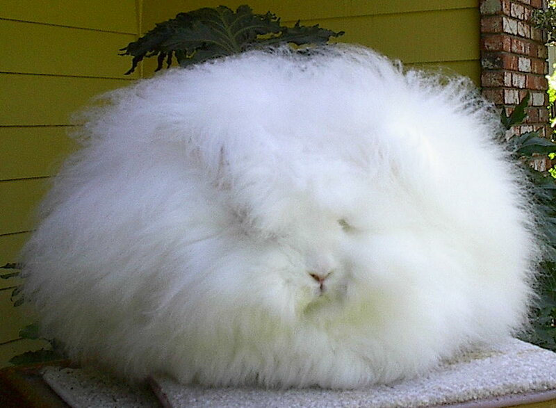 Angora Rabbit History pics descriptions of longwooled