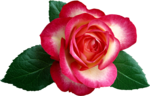 Holliewood_RoseIsARose_Rose16.png